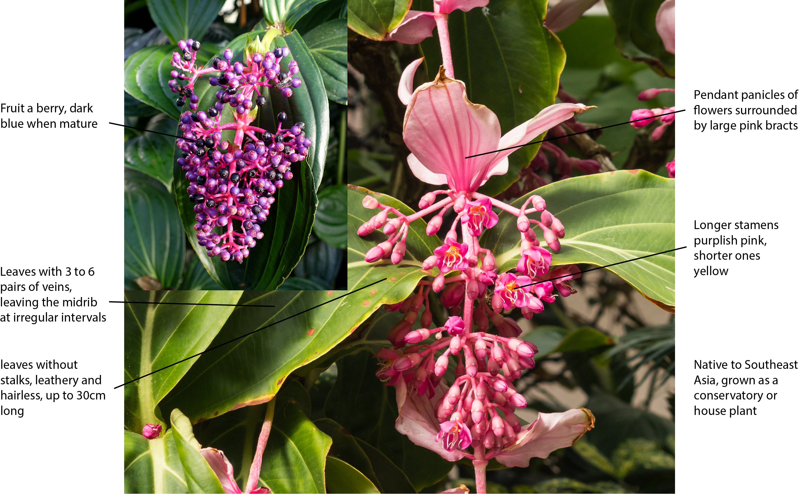 Key features/characters for identifying Medinilla magnifica plants.