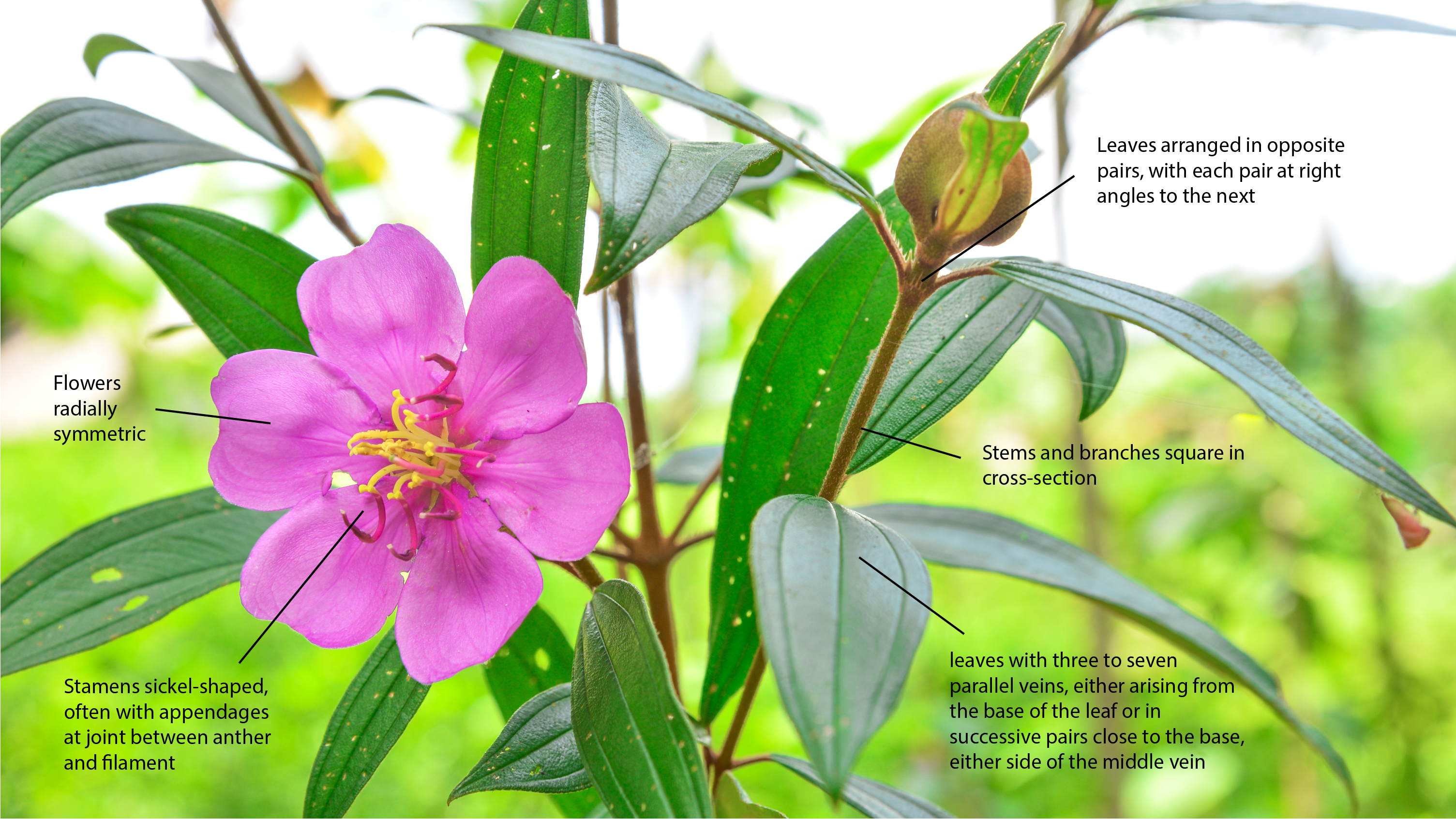 Key characters of the Melastomataceae plant family.