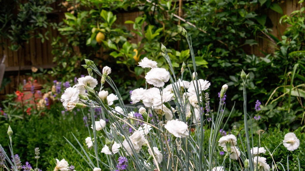 Dianthus 'Haytor White' with Citrus 'Four Seasons'