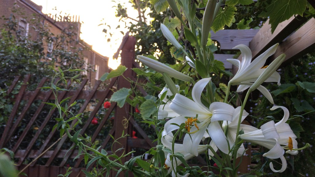 Lilium candidum (Madonna lily) growing in my garden.