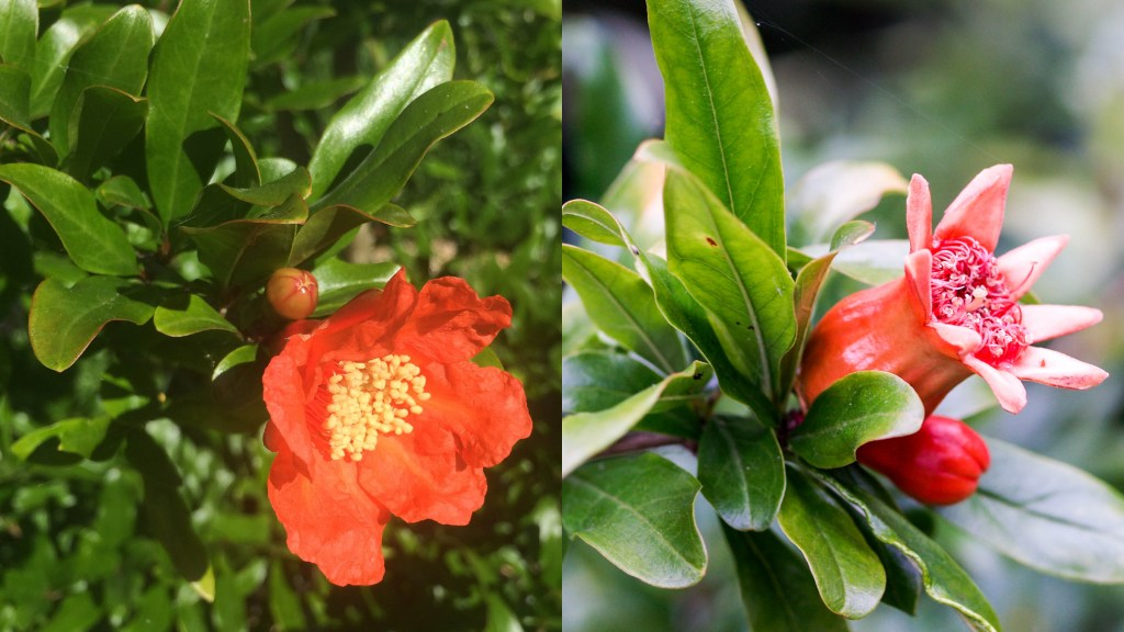 Punica granatum (pomegranate) flowers and fruits in my garden.
