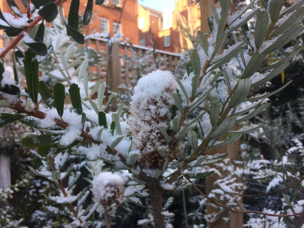 Banksia reticulata leaves and cone in the snow.