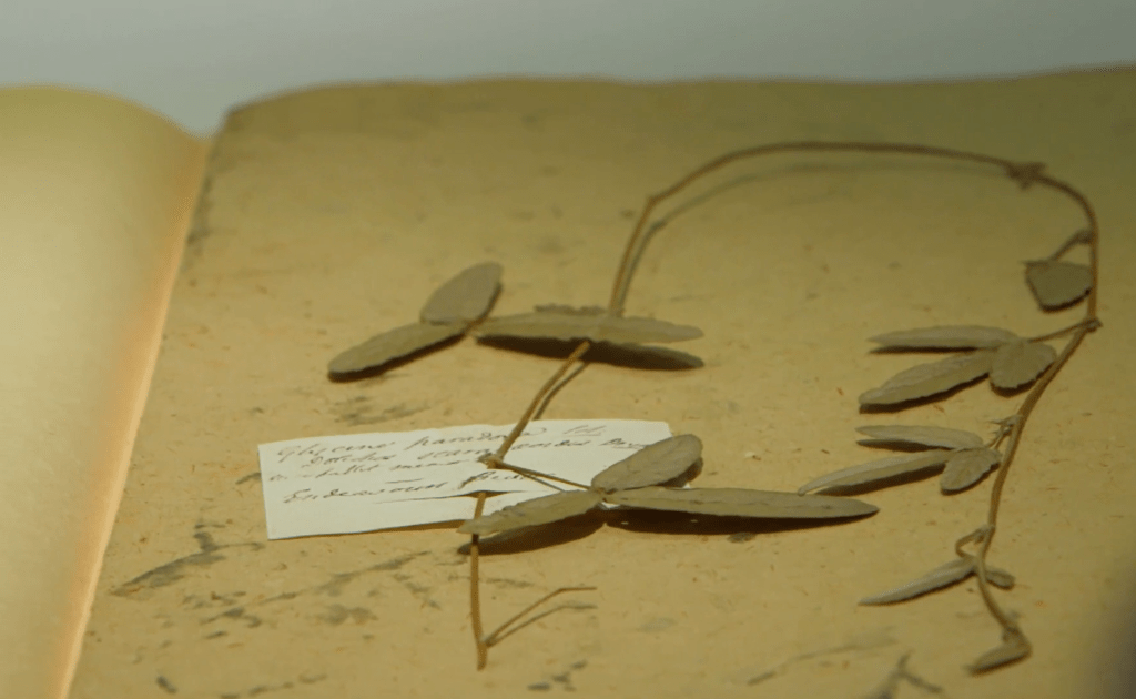 A specimen collected by Banks at the Endeavour River in 1770, pressed and dried but not yet mounted, with original field label attached. Natural History Museum, London.