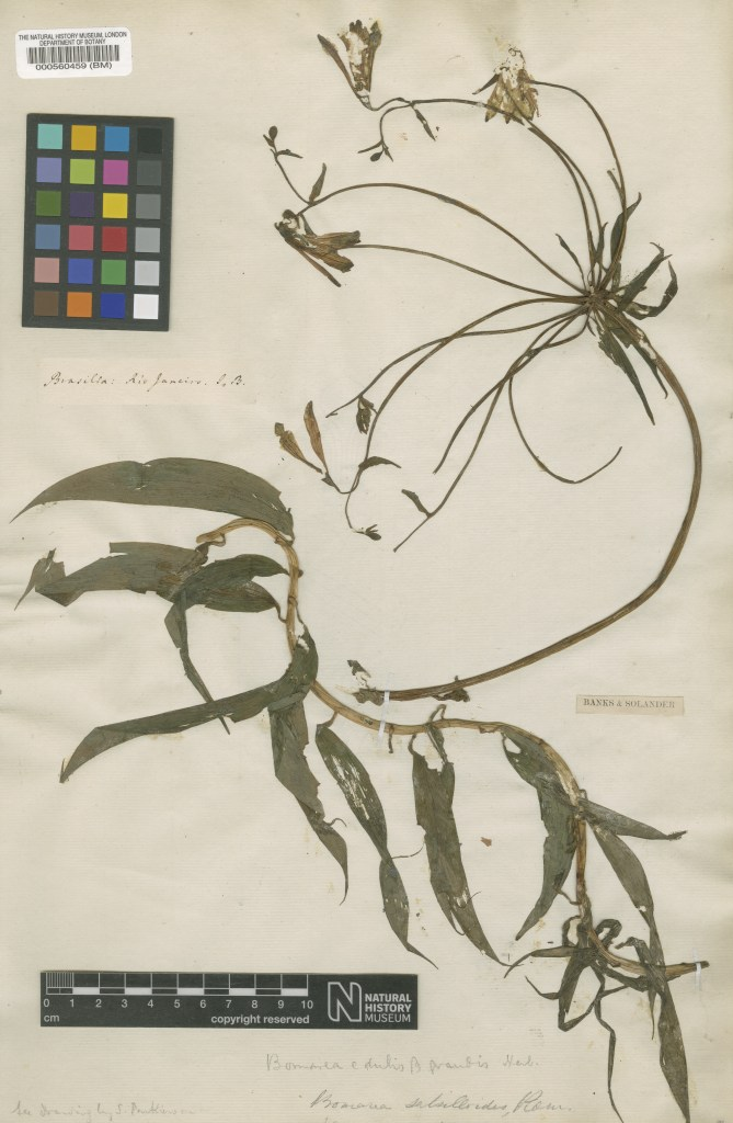 The specimen of Bomarea edulis collected by Banks and Solander at Rio de Janeiro in November 1768.