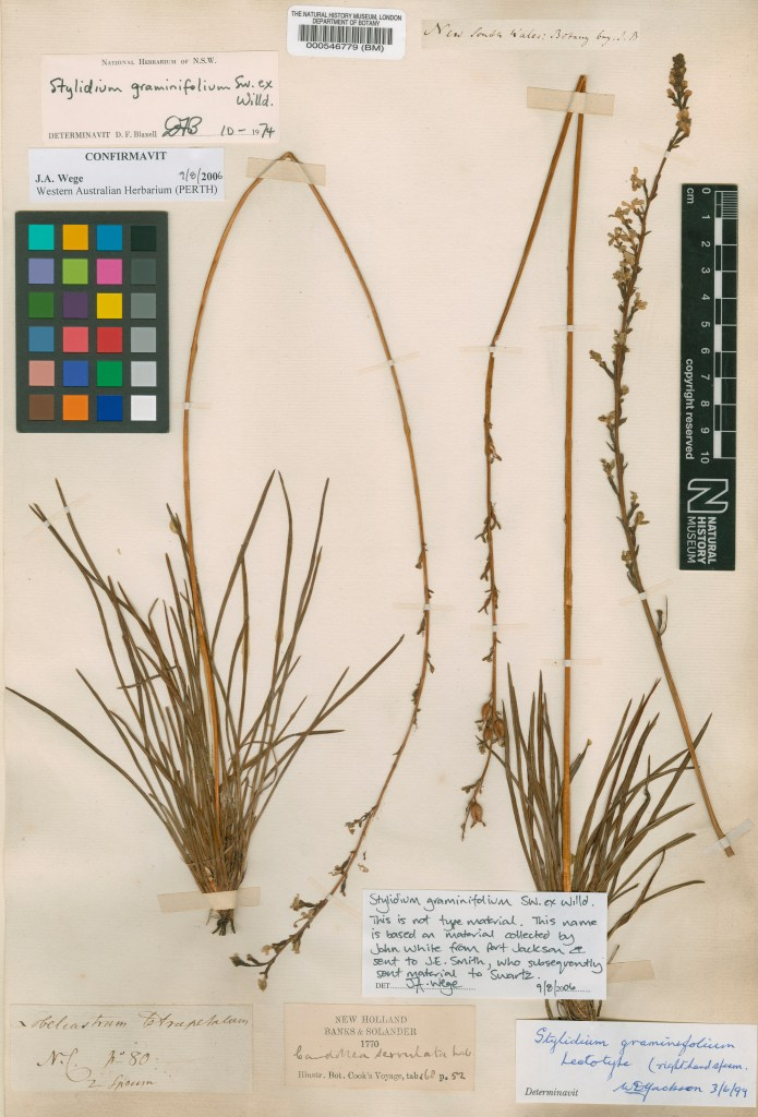 Original specimen of Stylidium graminifolium collected by Banks and Solander in Botany Bay in 1770. © The Trustees of the Natural History Museum, London.