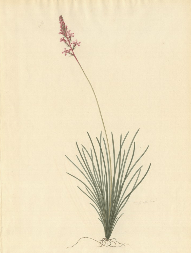 Watercolour painting of Stylidium graminifolium by Frederick Polydore Nodder based on a preparatory painting by Sydney Parkinson on board Endeavour in 1770, of material collected at Botany Bay. © The Trustees of the Natural History Museum, London.