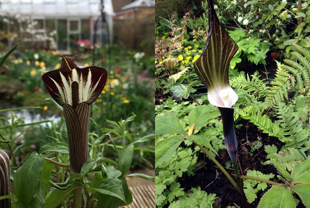 Arisaema amurense (left) and A. sikokiana (right), in Maarten Christenhusz garden, both in the Araceae family.