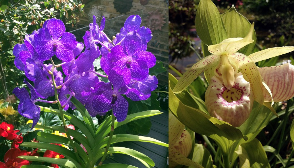 Vanda orchid and the hardy orchid Cypripedium 'Lady Dorine' in Maarten Christenhusz garden.