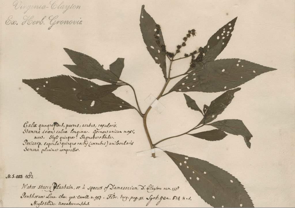 Specimen of Penthorum sedoides from Virginia, sent to Europe by John Clayton in the 1730s.