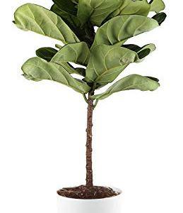 Costa Farms Fiddle Leaf Fig Live Indoor Ficus Lyrata, 4-Foot