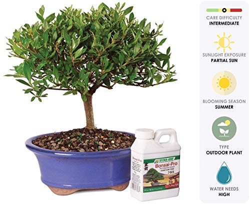 """Brussel's Live Gardenia Outdoor Bonsai Tree - 5 Years Old; 8"""" to 10"""" Tall"""