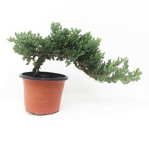 Healthy Bonsai Tree Windswept Juniper - Easy to Care For + Responds Well to Wiring and Reshaping, Strictly an Outdoor Bonsai Tree, Can be Added to a DIY Kit