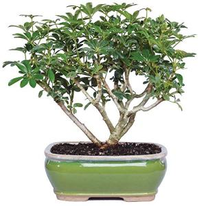 """Brussel's Bonsai Live Hawaiian Umbrella Indoor Bonsai Tree-3 Years Old 7"""" to 10"""" Tall with Decorative Container,"""