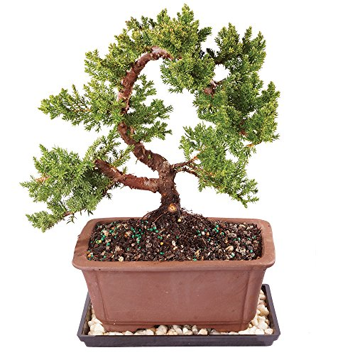 "Brussel's Live Green Mound Juniper Outdoor Bonsai Tree - 5 Years Old; 8"" to 12"" Tall with Decorative Container, Humidity Tray & Deco Rock"
