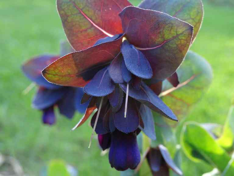 Honeywort (Cerinthe Major Purpurascens)