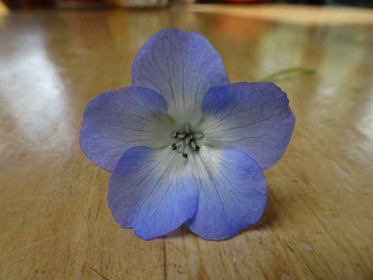 Nemophilia menziesii baby blue eyes.jpg