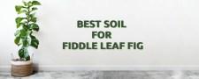 Best-Soil-for-Fiddle-Leaf-Fig