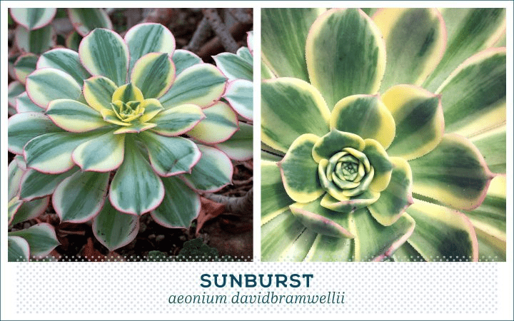 21 Types of Succulents for a Breathtaking Succulent Garden 18