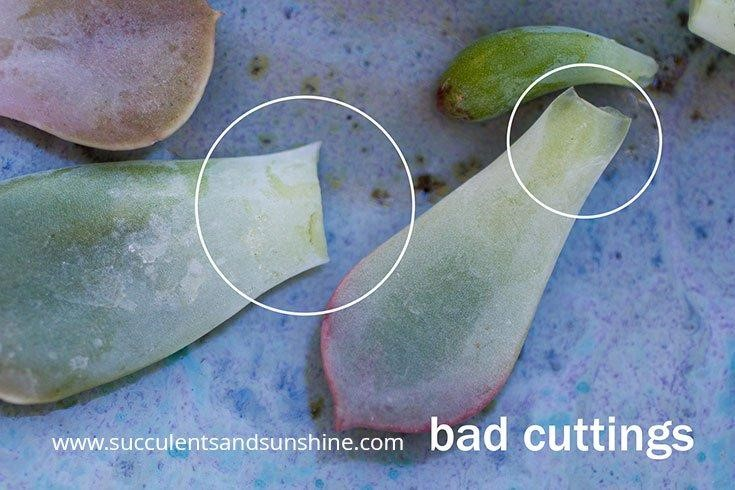 How to Propagate Succulents in Three Easy Steps 2