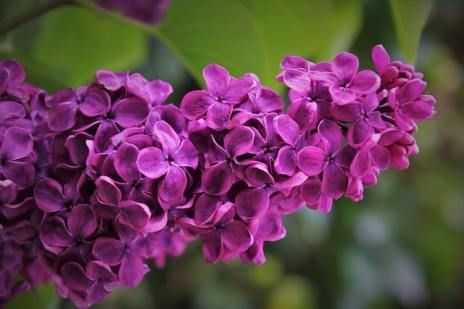 Your Guide to Growing & Caring for Lilac Bushes 8
