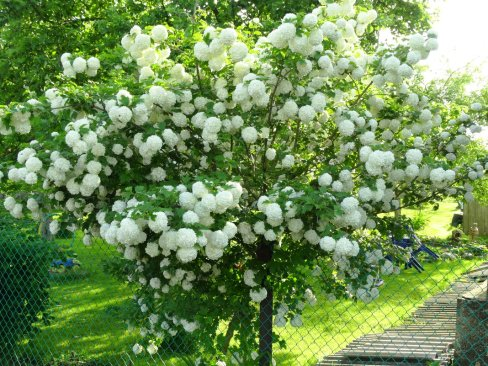How to Grow & Care for Hydrangea Trees 2