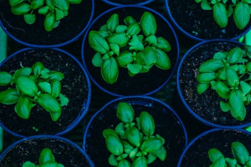 How to Grow Basil from Seed or Transplants 10
