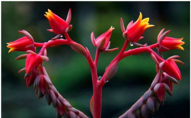 pink-red flowering succulent