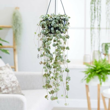 Rosary Plant indoors
