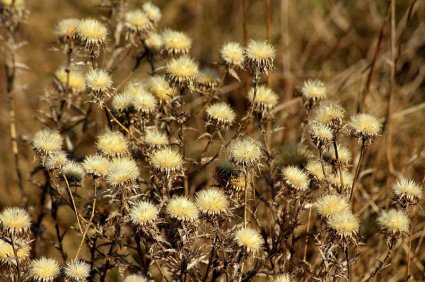 How to Get Rid of Thistles Permanently 1