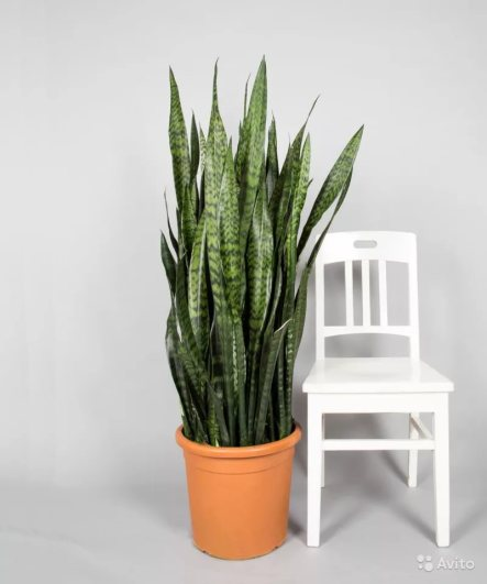 propagate snake plant indoor