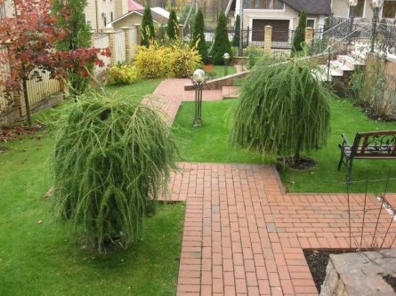 Curly Willow Tree care guide