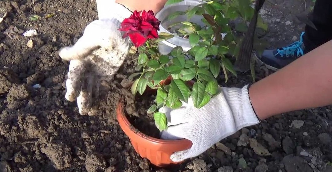How to Transplant Roses – Beginners Guide