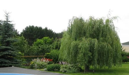 Curly Willow Tree - Care and Growing Guide 1