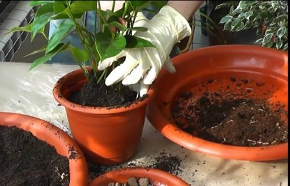 How to Transplant Roses from pots