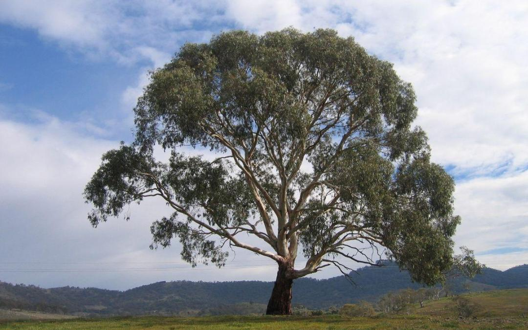 The Complete Guide To Growing Eucalyptus