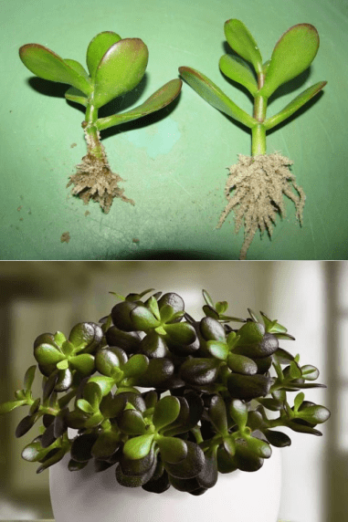 how to propagate jade plant from cuttings