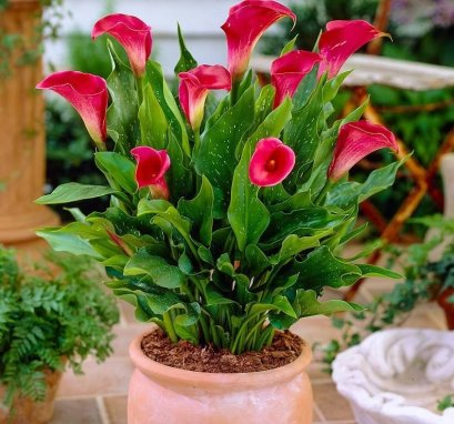 How to grow calla lilies IN POTS