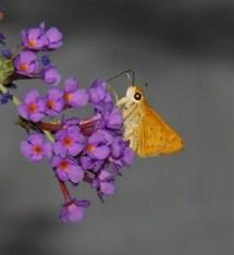 FIERY SKIPPER (male)