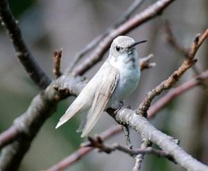 ALBINO JUVENILE MALE HUMMINGBIRD
