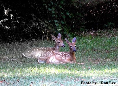 Twin white-tailed deer fawns