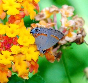 RED-BANDED HAIRSTREAK NECTARING AT LANTANA BLOSSOMS