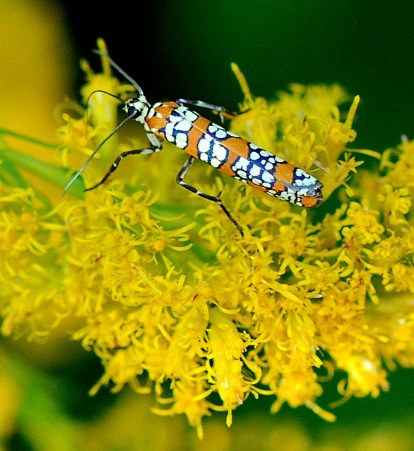 ailanthus-webworm-moth-detailed-pattern