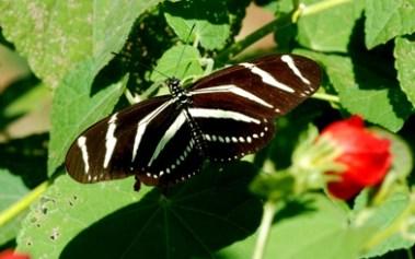 Zebra-Heliconian