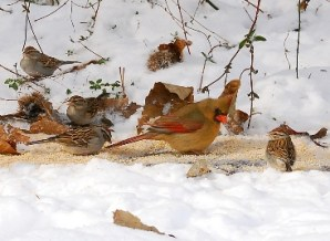 female-cardinal-chippings__-sparrows-feeding