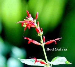 RED SALVIA - Blog - 15 July 2017