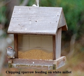 CHIPPING SPARROW FEEDING ON WHITE MILLET - 4 Jan 2018
