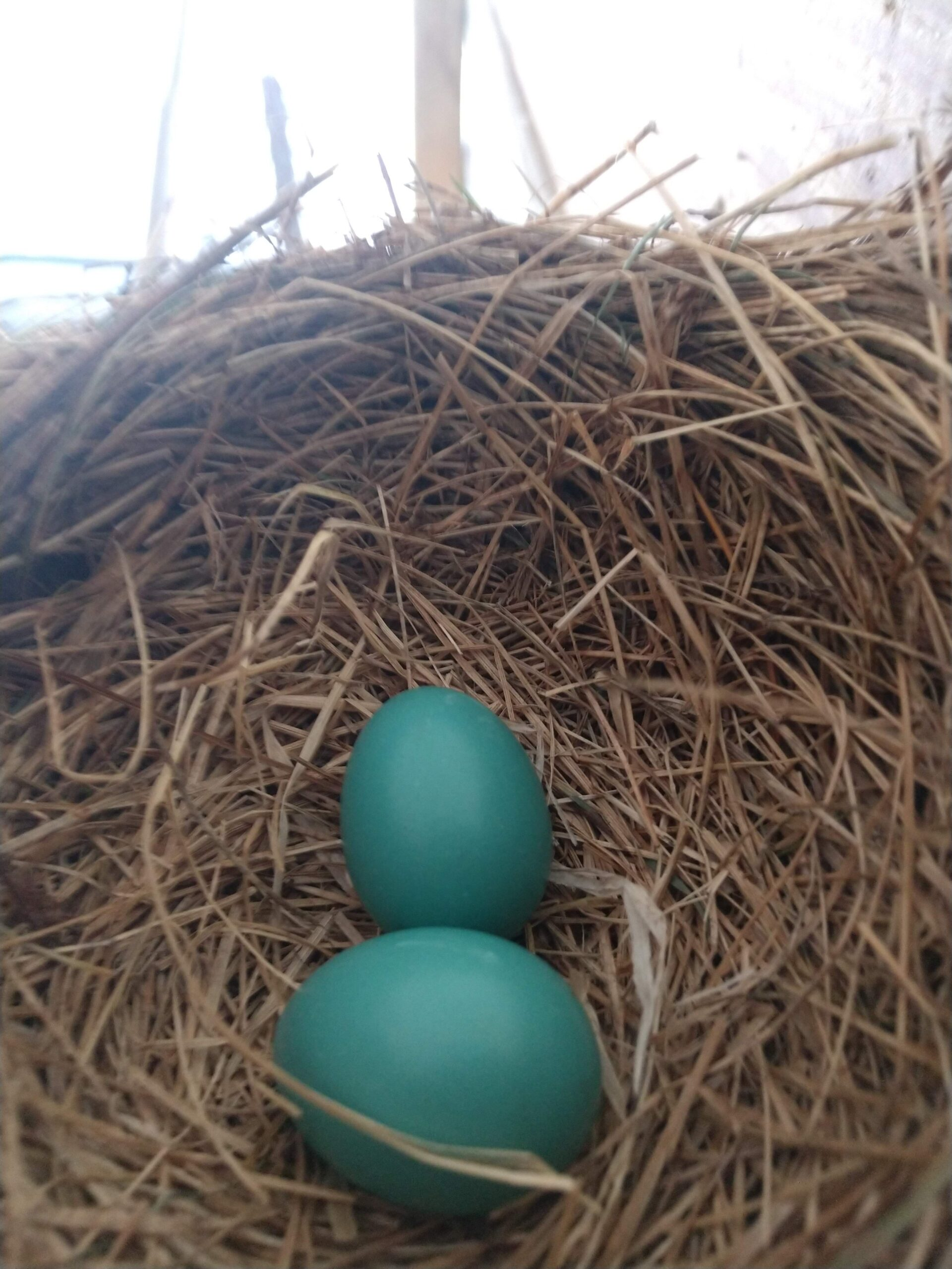 2 Eggs in a Robin Nest