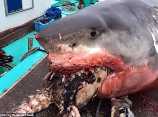 A Giant Shark Choke To Death While Trying To Swallow A Turtle (Photos)