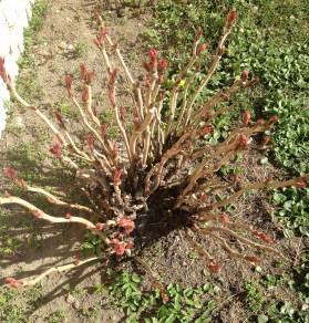peonia-arbustiva
