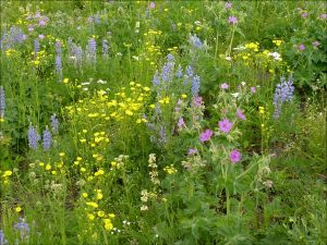 Native meadow grass